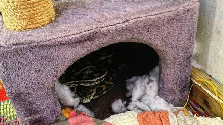 Família leva susto ao encontrar cobra píton na casinha de gato - Especiais