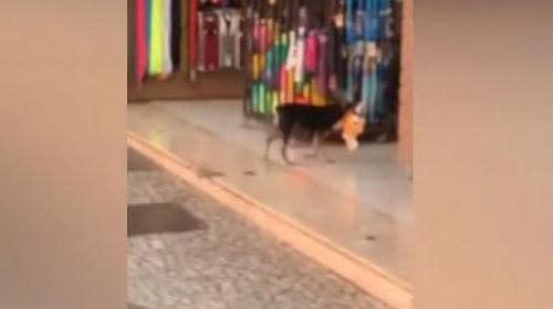 Cachorro 'furta' brinquedo em loja, se arrepende e volta para devolver