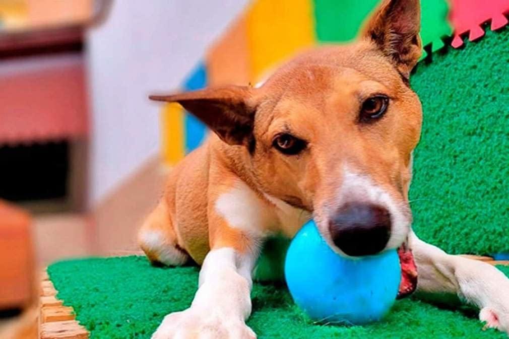 Cinco brincadeiras para fazer com o seu PET dentro do apartamento durante o isolamento social   SEGS
